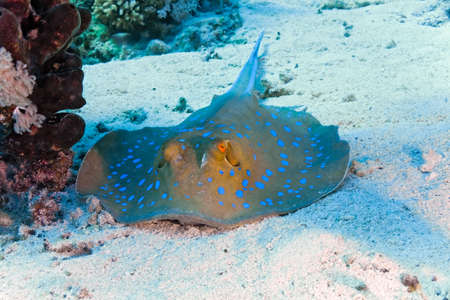 bluespotted: Bluespotted stingray Stock Photo