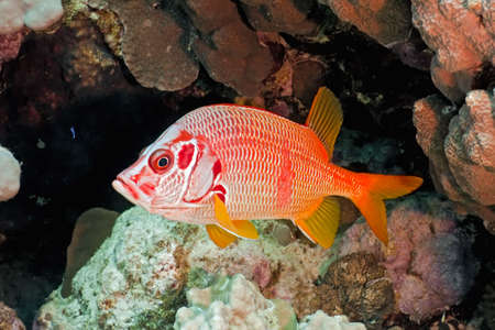 Squirrelfish on the coral fish photo