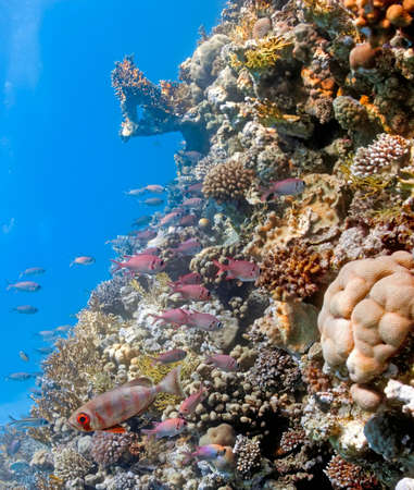 Shoal of soldierfish and crescent-tail bigeye on the coral reef photo
