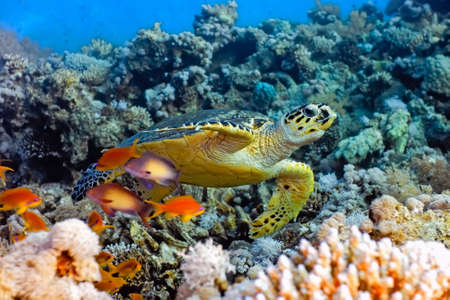 Sea turtle on the coral reef