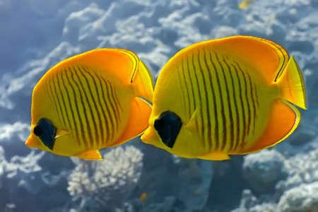butterflyfish: Butterflyfish