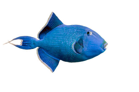triggerfish: Blue triggerfish on white Stock Photo
