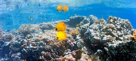 Coral scene - panorama photo