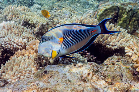 surgeonfish: Sohal Surgeonfish on the coral reef