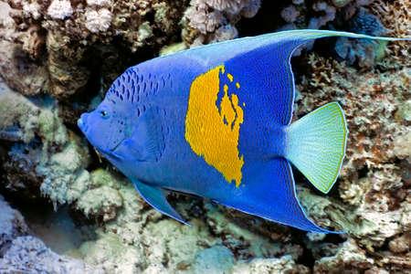 Yellowbar Angelfish Stock Photo