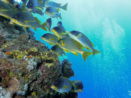 blackspotted: Shoal of blackspotted grunt