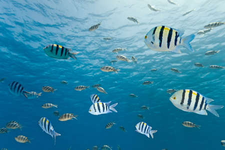 Shoal of sergeant fish Stock Photo - 8203976
