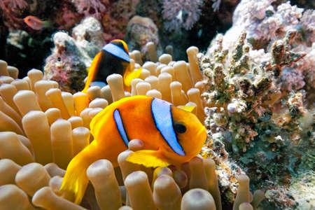pez payaso: Amphiprioninae