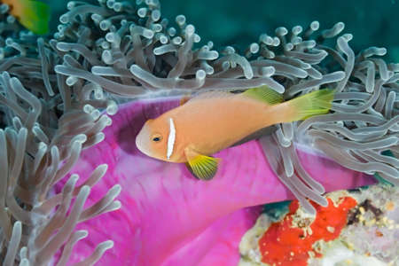 Anemonfish Stock Photo - 8428580