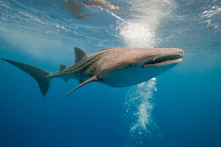 blue whale: Whale shark