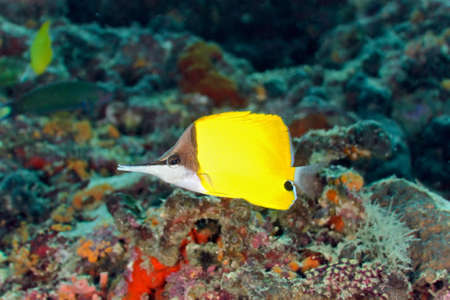 butterflyfish: Longnose butterflyfish