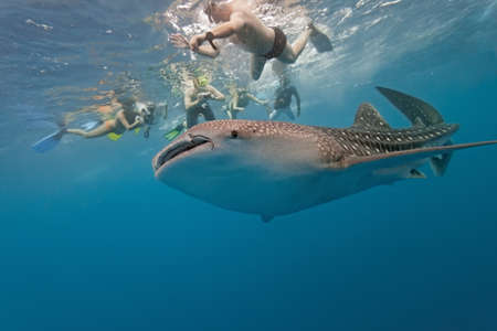 Whale shark and snorkeling people
