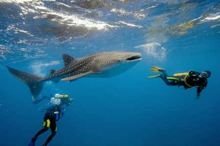 baleine bleue: Requin-baleine et les plongeurs Banque d'images