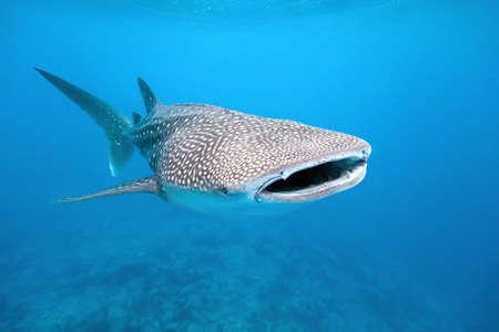 whale: Whale shark
