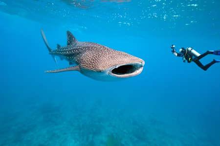 ballena azul: Tiburón ballena y el fotógrafo subacuático
