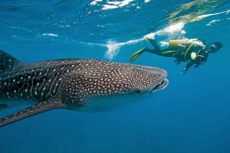 ballena azul: Tibur�n ballena y el fot�grafo subacu�tico