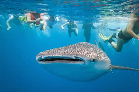 Whale shark and snorkeling people photo