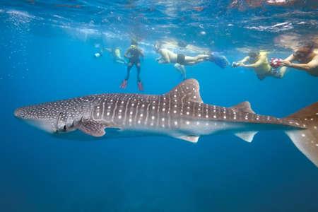 baleine bleue: Requin-baleine et les gens avec tuba