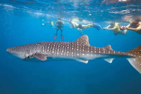 ballena azul: Tiburón ballena y personas esnórquel