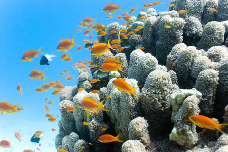 anthias fish: Coral reef scene with anthias fish