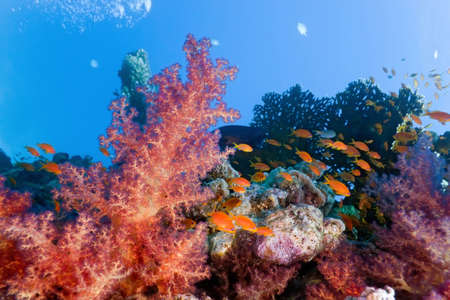 Coral reef scene with anthias fish and soft coral