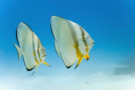 Longfin batfish from red  sea Stock Photo