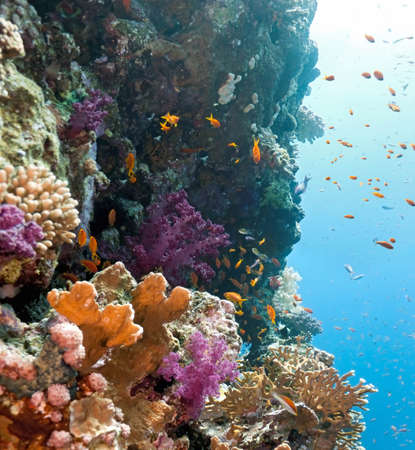 Shoal of anithias fish on the coral reef photo