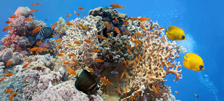 sailfin: Coral scene - panorama Stock Photo