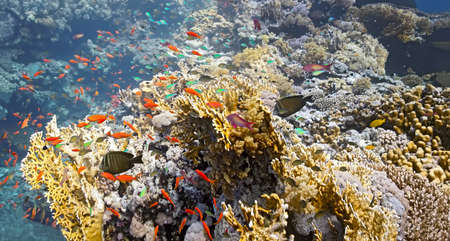 hardcoral: Shoal of fish on the fire coral Stock Photo