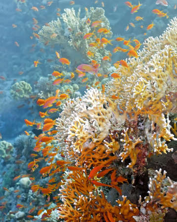Shoal of anthias fish on the fire coral photo