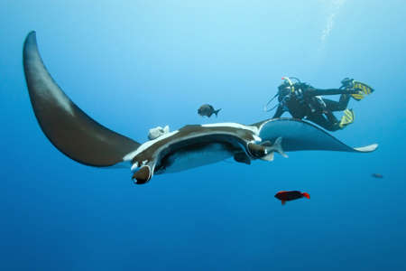 Manta and diver on the reef photo