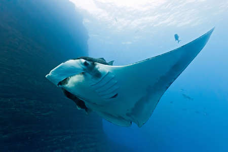 Manta on the coral reef photo
