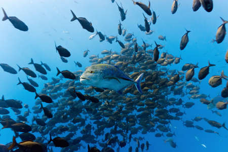 Shoal of trevally fish