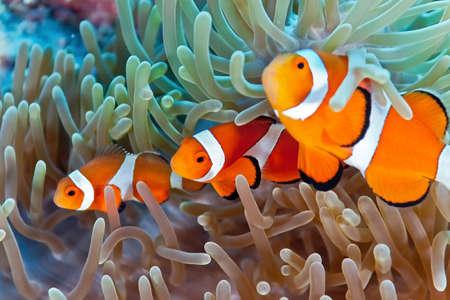 arrecife: Pez payaso Foto de archivo