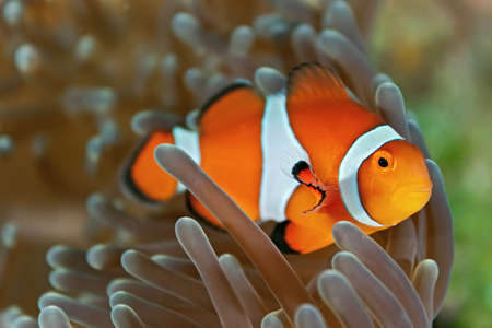 softcoral: Clownfish