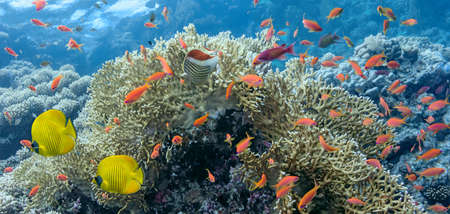 anthias fish: Coral scene - panorama Stock Photo