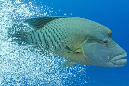humphead: Napoleonfish swim out from the air bubbles - picture from red sea