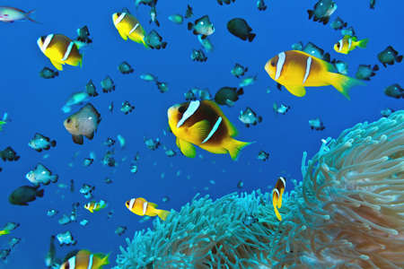 clown fish amphiprion: Anemone fish on the soft coral Stock Photo