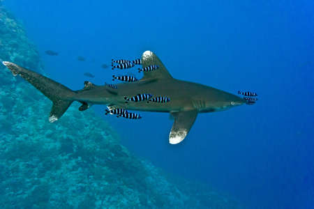 oceanic: Oceanic White Tip shark - longimanus in the Red Sea