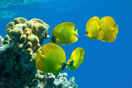 hardcoral: Shoal of butterfly fish on the reef Stock Photo