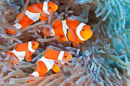 pez payaso: Clownfish en el coral suave an�mona