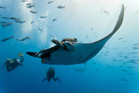 Manta and divers on the blue background