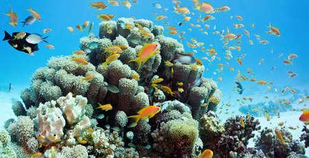 anthias fish: Coral reef scene
