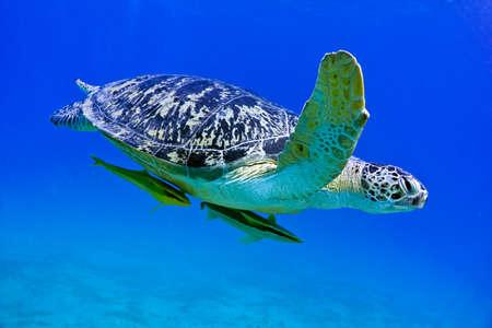 바다 거북이