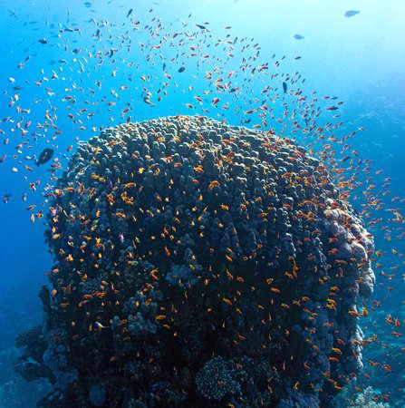 anthias: Coral reef scene-panorama