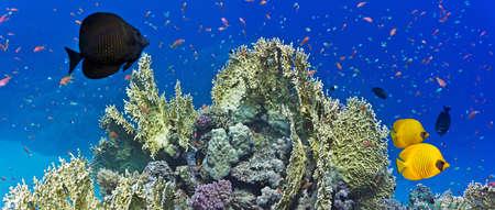hard coral: Coral reef scene-panorama