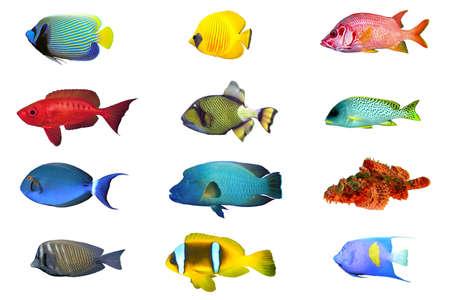 surgeon fish: Las especies de peces - �ndice de pescado de mar rojo aislado en blanco Foto de archivo