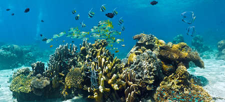 sweetlips: Shoal of fish on the coral reef - panorama Stock Photo