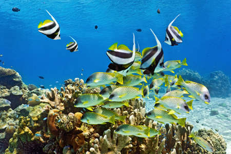 shoal: Shoal of fish on the coral reef Stock Photo