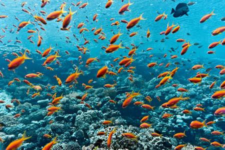 anthias: Shoal of anthias fish on the coral reef
